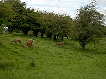 deer grazing on a hillside adjacent to the Broadway Tower in England