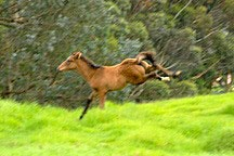 brown colt kicking up its heels in a green field outside of Cerro Punta, Panama