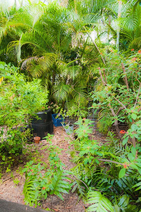 tropical garden in Coral Gables is home to several edible plants, and illustrates that edible gardens can be lovable as well