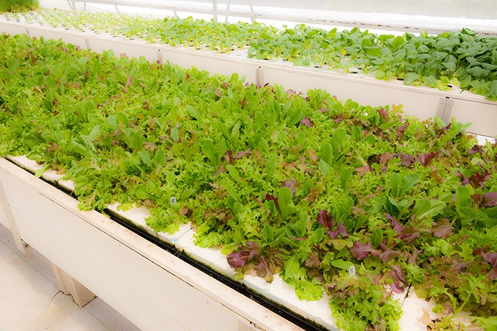 hydroponic salad greens at Goodfellow Farms, Nassau, Bahamas