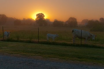 cows standing alongside fence at sunrise at Janna's Food Farm in Rogersville, Alabama