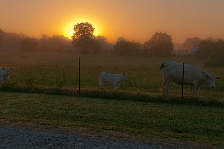 sunrise on the farm, with white cow and calf grazing against spindly steel fence-posts across the street from Janna's Food Farm in Rogersville, Alabama