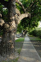 another view of sidewalk and street trees on Meridian Avenue in Miami Beach