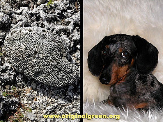 fossil on left, miniature dachshund