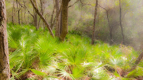 palmetto shoots on the forest floor