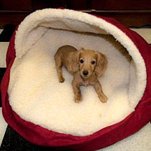 miniature dachshund puppy in cloth dog-cave
