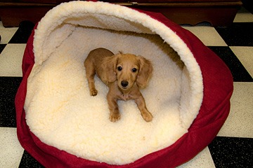 Sally, my miniature English Cream dachshund in her dog-bed