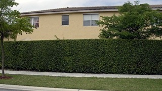 hedge behind house that backs onto street