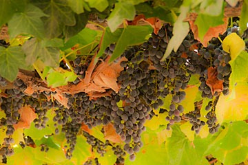 clusters of grapes hanging from an arbor at Villa Medici in Florence, Italy